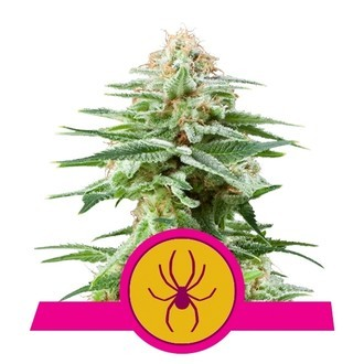 White Widow (Royal Queen Seeds) feminized