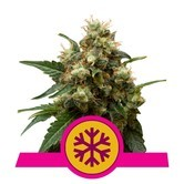 Ice (Royal Queen Seeds) feminized