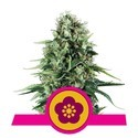 Power Flower (Royal Queen Seeds) feminized