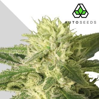 Auto 1 (Auto Seeds) feminized