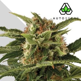 Auto Pounder (Auto Seeds) feminized