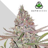 Berry Ryder (Auto Seeds) feminized