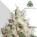 Hijack (Auto Seeds) feminized