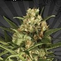 Pineapple Punch (Auto Seeds) feminized