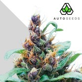 Purple Stilton (Auto Seeds) feminized