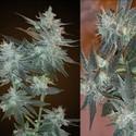 L.A. Ultra (Resin Seeds) feminized