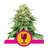 Critical (Royal Queen Seeds) feminized