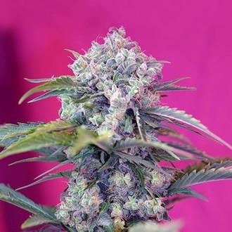 Cream Mandarine Auto (Sweet Seeds) feminized