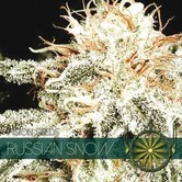 Russian Snow (Vision Seeds) feminized