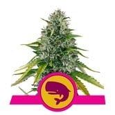 Royal Moby (Royal Queen Seeds) feminized