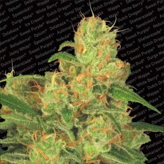 Auto Acid (Paradise Seeds) feminized
