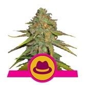 O.G. Kush (Royal Queen Seeds) feminized