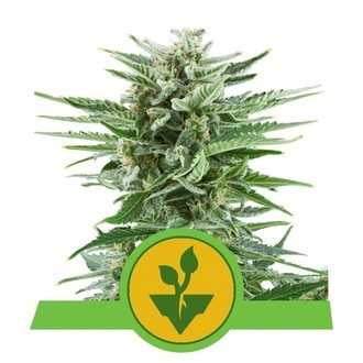 Easy Bud (Royal Queen Seeds) feminized