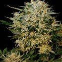 Sugar Gom (Grass-O-Matic) feminized