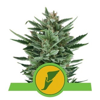 Quick One (Royal Queen Seeds) feminized