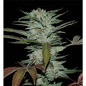 Sour Kush (Reserva Privada) feminized