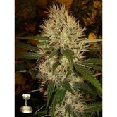 Martian Mean Green (DNA Genetics) feminized