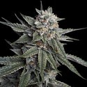 Holy Grail Kush (DNA Genetics) feminized
