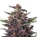 Buddha Purple Kush Auto (Buddha Seeds) feminized