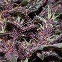 Purple Kush Auto (Buddha Seeds) feminized
