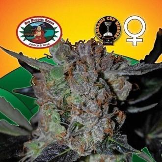 L.A. Cheese (Big Buddha Seeds) feminized