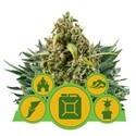 Autoflowering Mix (Royal Queen Seeds) feminized