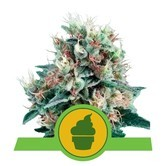 Royal Creamatic (Royal Queen Seeds) feminized