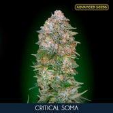 Critical Soma (Advanced Seeds) feminized