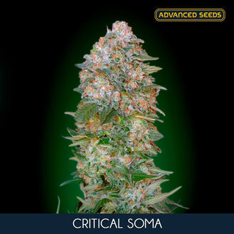 Critical Soma (Advanced Seeds) feminized
