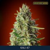 Kali 47 (Advanced Seeds) feminized