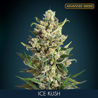 Ice Kush (Advanced Seeds) feminized