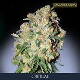Critical (Advanced Seeds) feminized