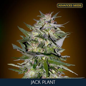 Jack Plant (Advanced Seeds) feminized