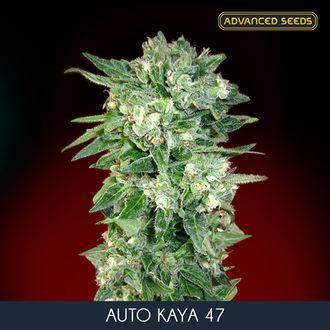Auto Kaya 47 (Advanced Seeds) feminized