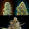 Automatik Mix (Advanced Seeds) gefeminiseerd