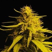 Haze 1 (Nirvana) feminized