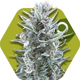 Blueberry (Zambeza) feminized