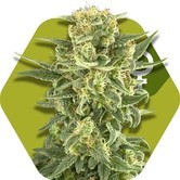 White Cheese (Zambeza) feminized