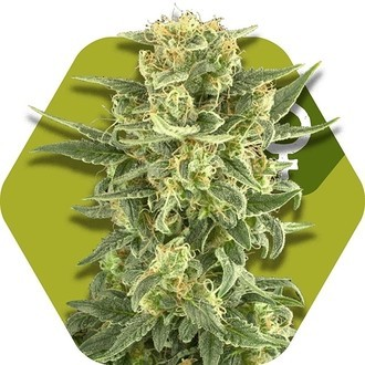 White Cheese Fast Flowering (Zambeza) feminized