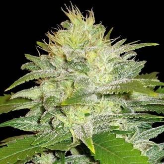 La Musa (Delicious Seeds) feminized