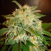 La Bella Afrodita (Delicious Seeds) feminized