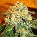 Marmalate (Delicious Seeds) feminized