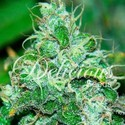 Fruity Chronic Juice (Delicious Seeds) feminized