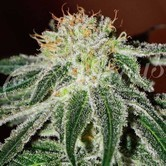 Black Russian (Delicious Seeds) feminized