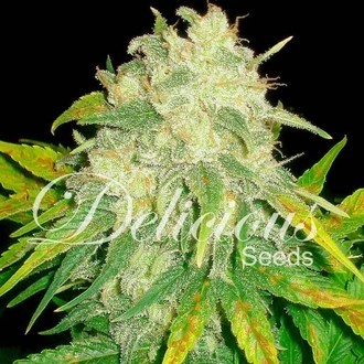 Il Diavolo (Delicious Seeds) feminized