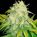 Il Diavolo (Delicious Seeds) feminized