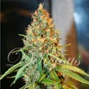 Critical Kali Mist (Delicious Seeds) feminized