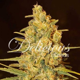 Critical Sensi Star (Delicious Seeds) feminized