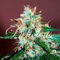 Critical Neville Haze 2.0 (Delicious Seeds) feminized