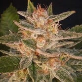 Cheese Candy (Delicious Seeds) feminized